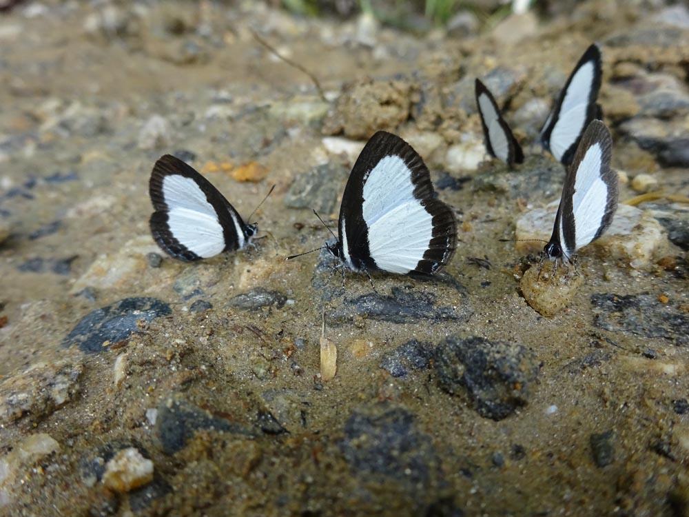 картинка: Lycaenidae1.jpg