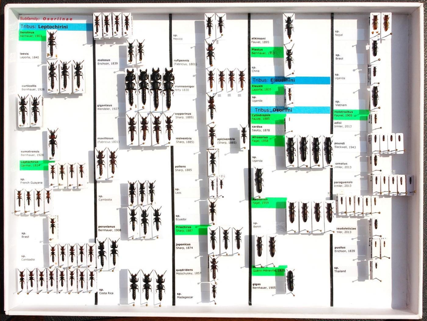 Staphylinidae_9.JPG - кликните, чтобы открыть увеличенную картинку