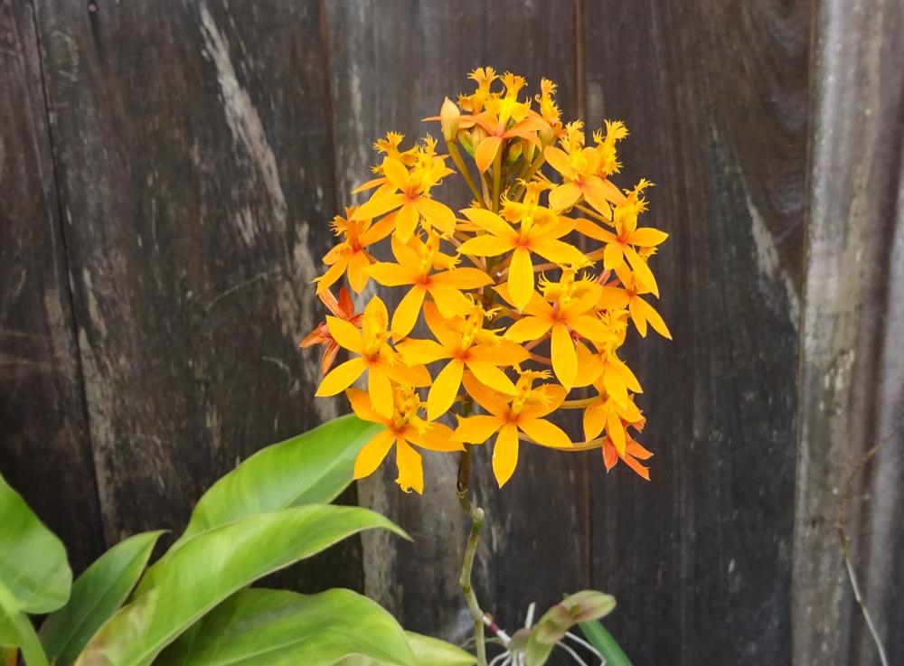 картинка: Orchidea3.jpg