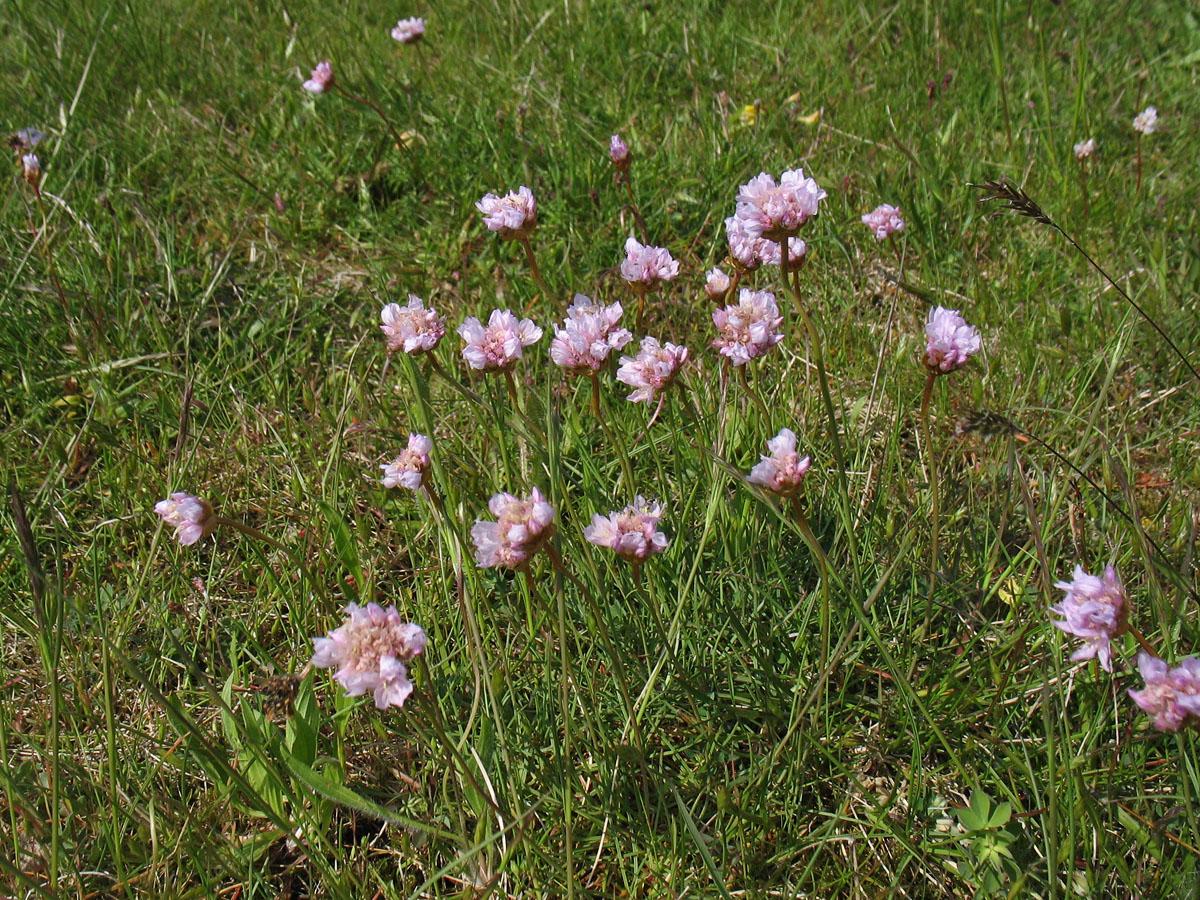 Цветы армерия приморская посадка и уход фото