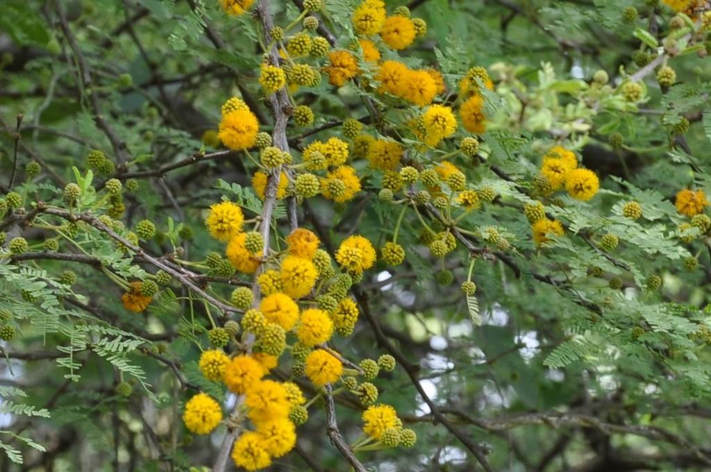 картинка: acacia.jpg