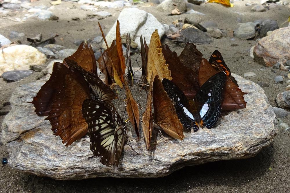 картинка: Nymphalidae_Sulawesi.jpg