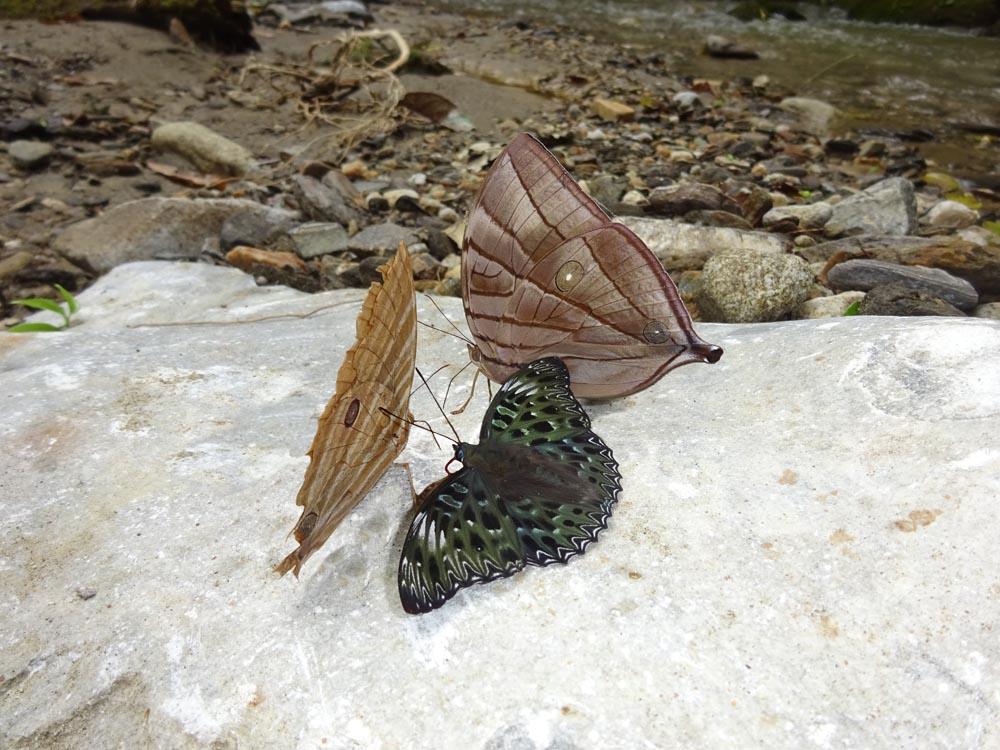 картинка: Amatusiidaea.jpg