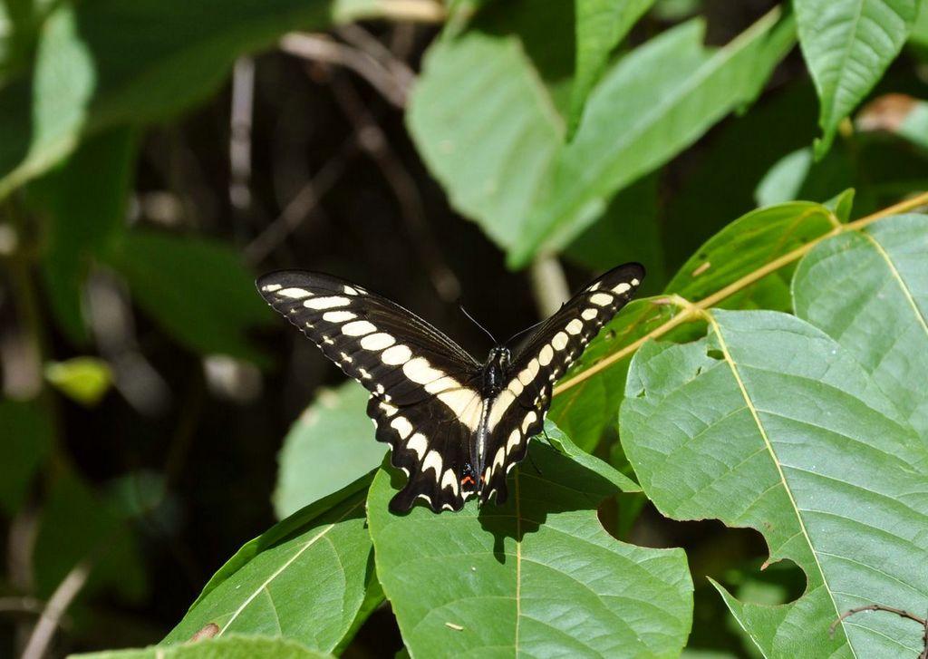 картинка: Papilio__cresphontes_1489.jpg