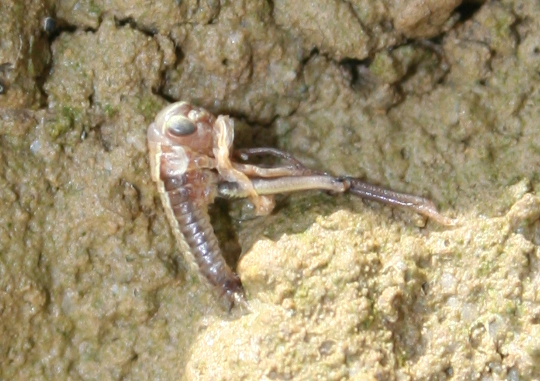 картинка: Parapholidoptera.jpg