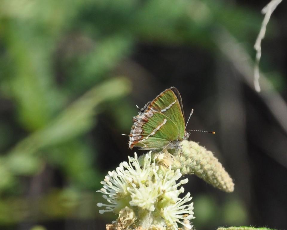 картинка: callophrys_mb_xami.jpg