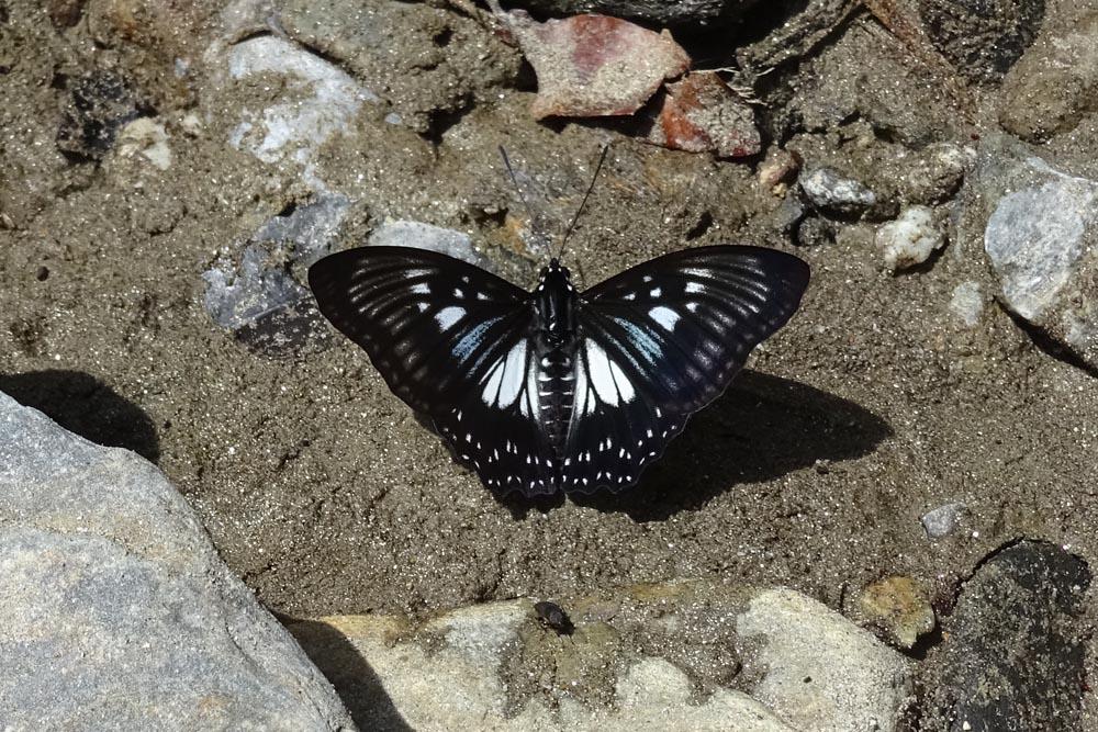 картинка: Nymphalidae3.jpg