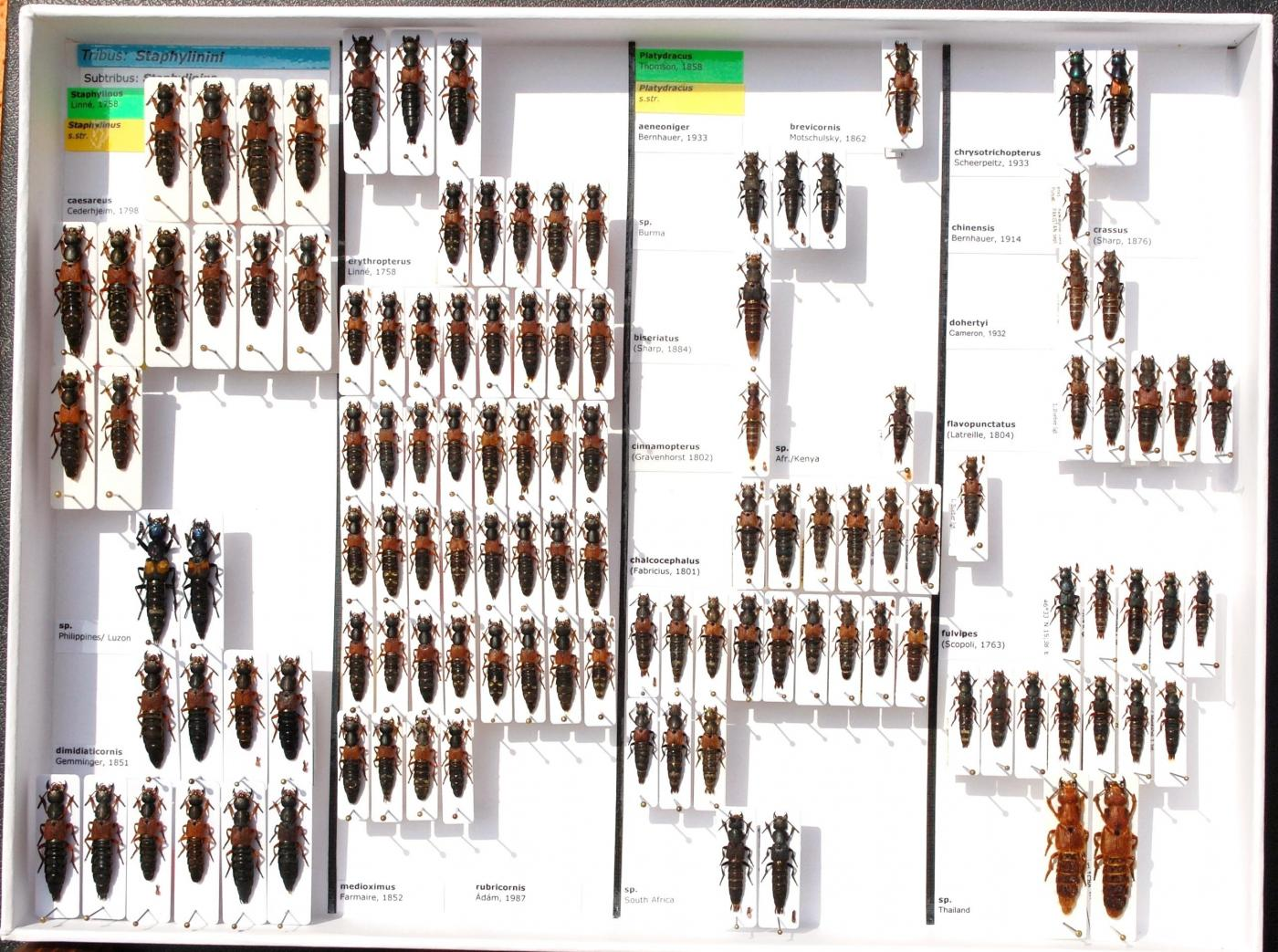 Staphylinidae_53.JPG - Attached Image (Click thumbnail to expand)
