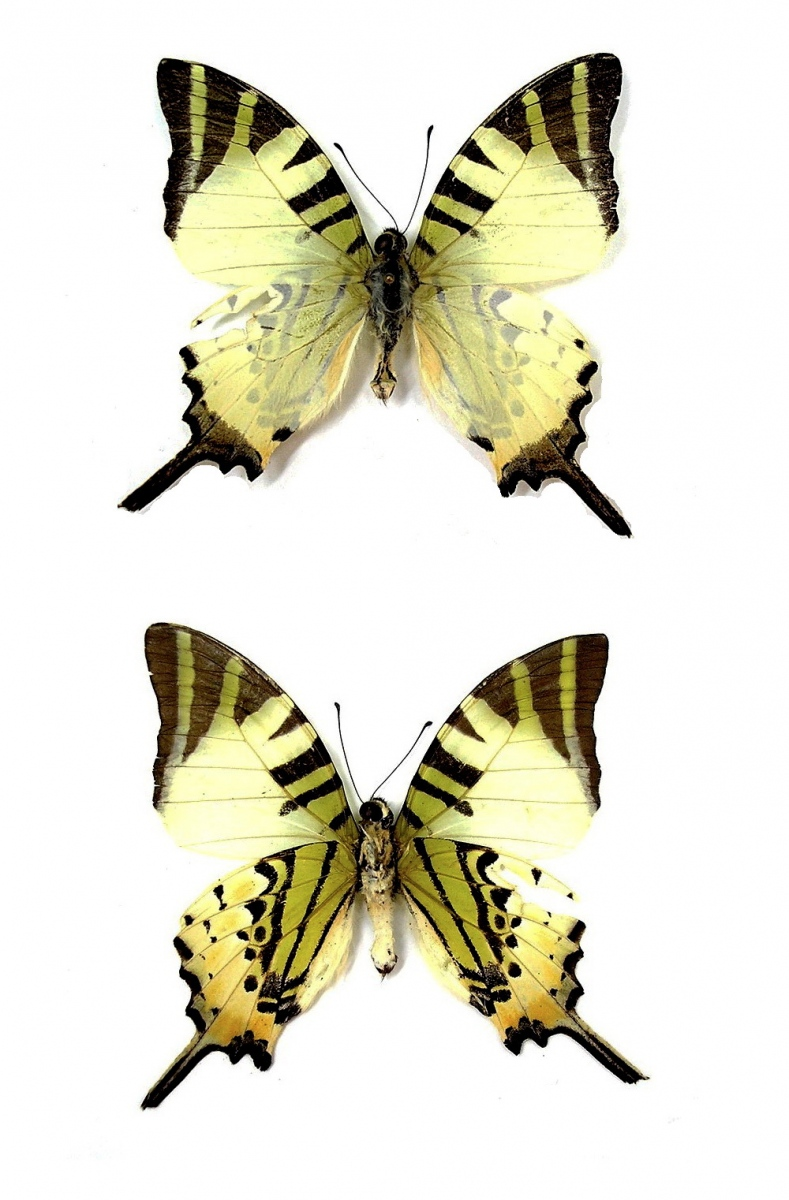 картинка: Graphium__Pathysa__antiphates__Cramer___1775__.jpg