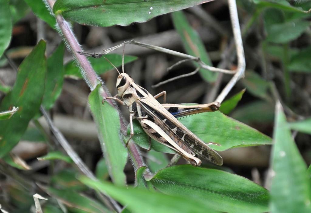 картинка: 1_Acrididae1.jpg