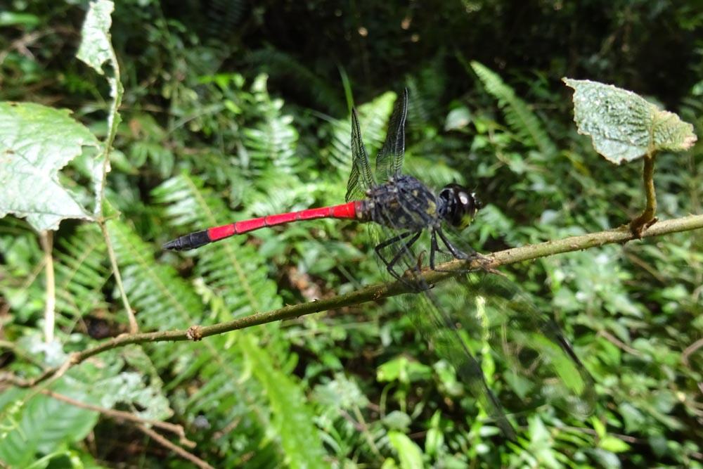 картинка: Odonata_Sulawesi.jpg