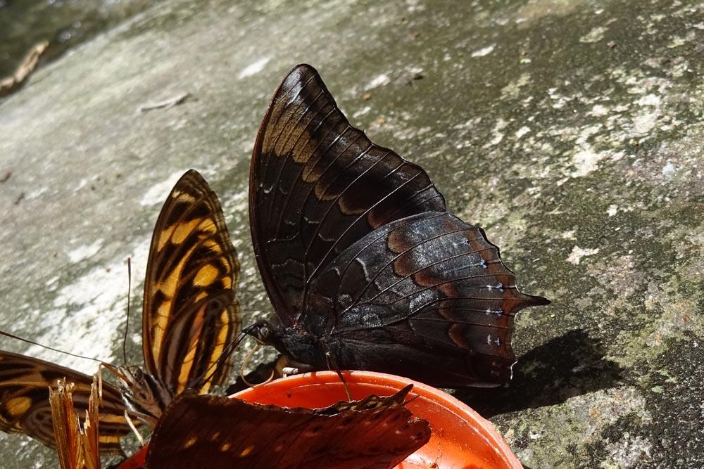 картинка: Charaxes_mars_Sulawesi_1i.jpg