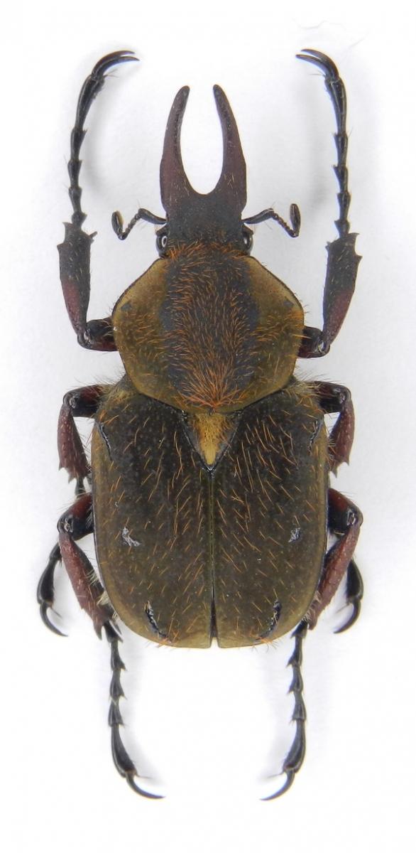 картинка: Dicronocephalus_uenoi_katoi__Kurosawa__1968____26.V.2010__Taiwan__Nantou_County__Shanlisi.JPG
