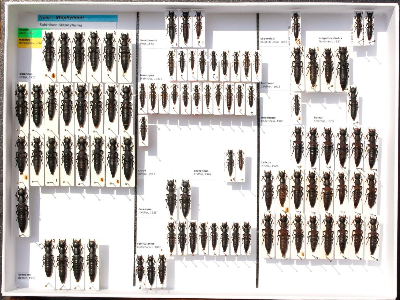 Staphylinidae_55.JPG - Attached Image (Click thumbnail to expand)