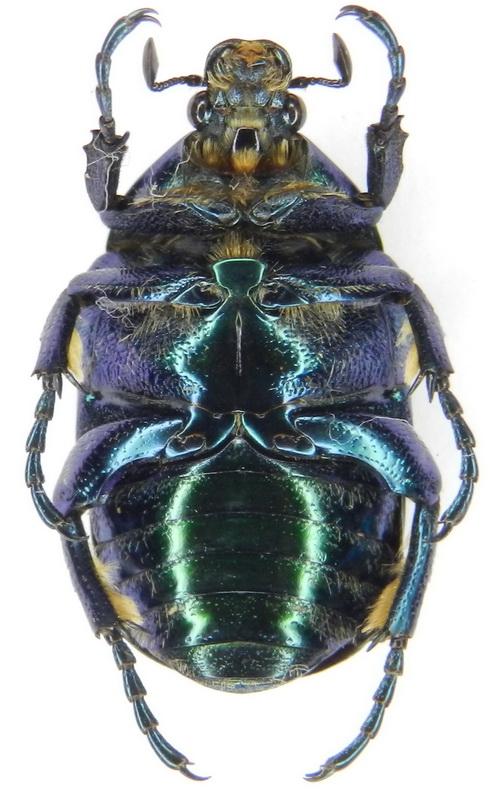 картинка: ssp.pseudospeciosa___26.VI.2004__S_Azerbaijan__Talysh__Veri_vil.__Aliabad___1600m__02_.jpg