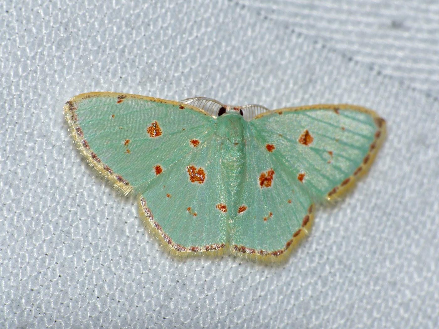 картинка: Geometrid_Moth__Comostola_laesaria__male__15691511259_.jpg