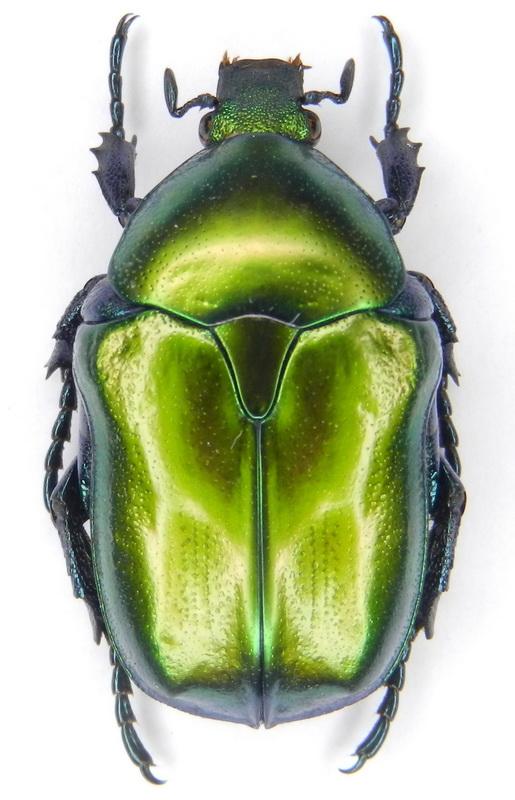 картинка: ssp.pseudospeciosa___13_16.V.2012__S_Azebaijan__Talysh_Mts.__Astara_distr.__Sym_vill._env.__01_.jpg