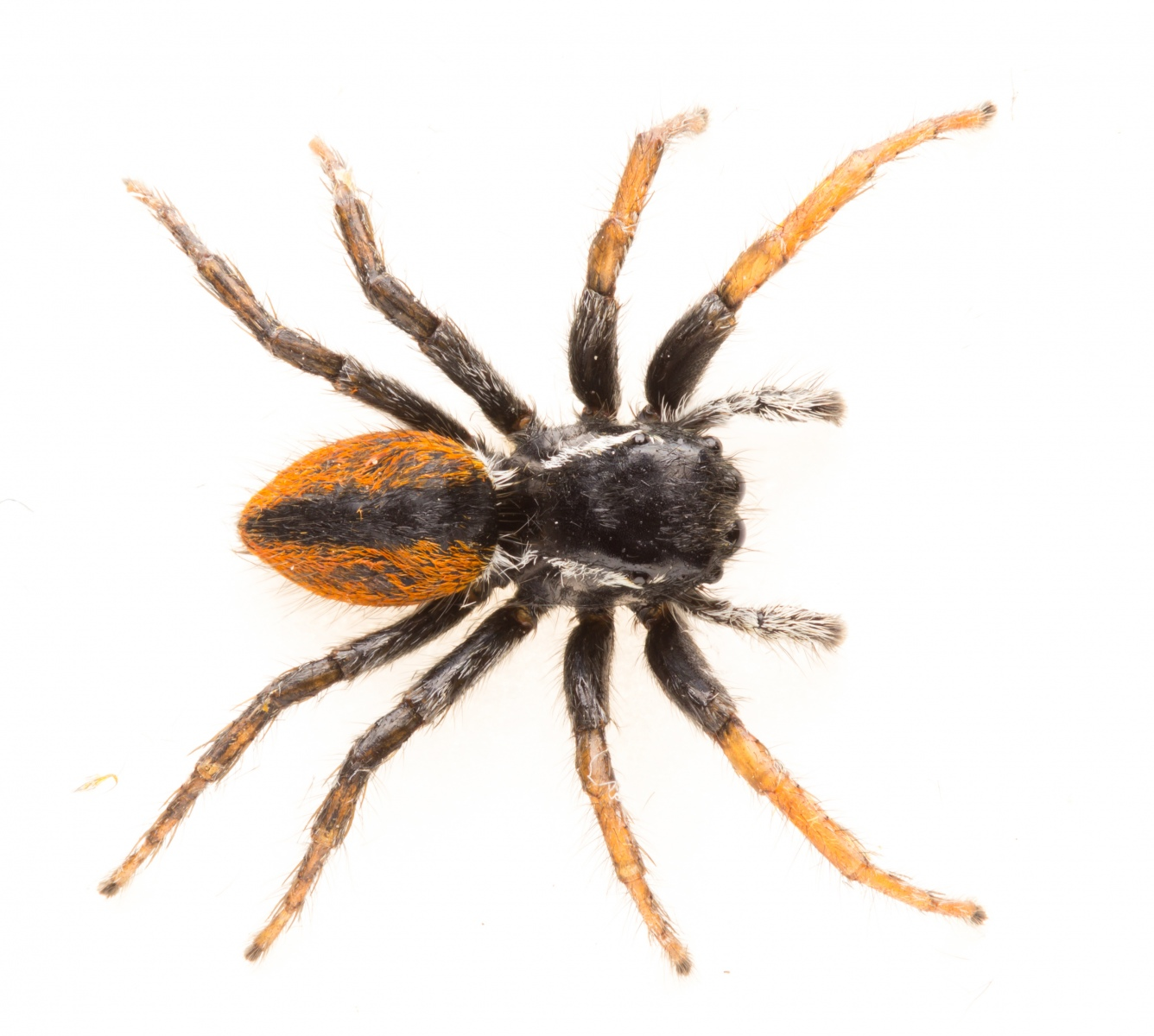 Attached Imagespider.jpg