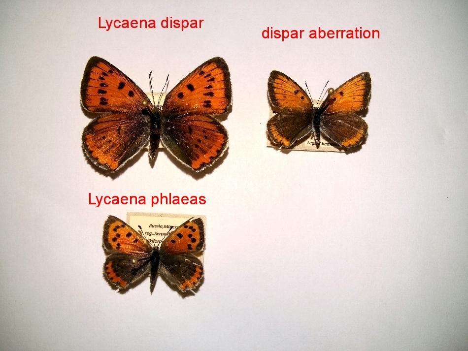 картинка: Lycaena.jpg