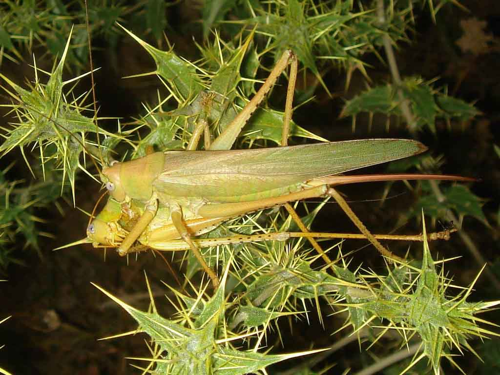 картинка: great_green__bush_cricket_female_2.jpg