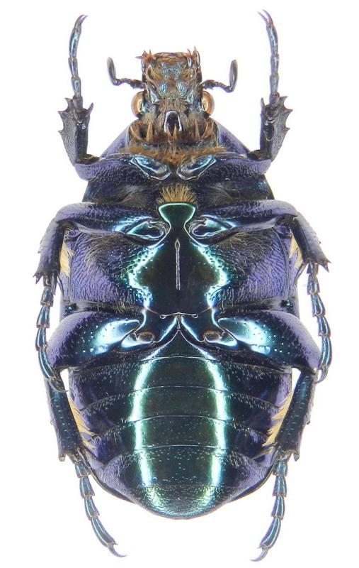 картинка: ssp.pseudospeciosa___13_16.V.2012__S_Azebaijan__Talysh_Mts.__Astara_distr.__Sym_vill._env.__02_.jpg