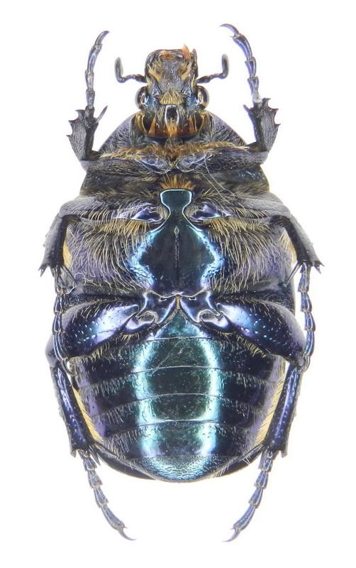 картинка: ssp.tyrrenica__Miksic__1957____17.VI.2008__France__Corse__Castifao__02_.jpg