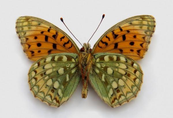 картинка: 2_Argynnis_niobe__Linnaeus__1758___________________.____.____._______________________._1.08.2003._leg._.______.jpg