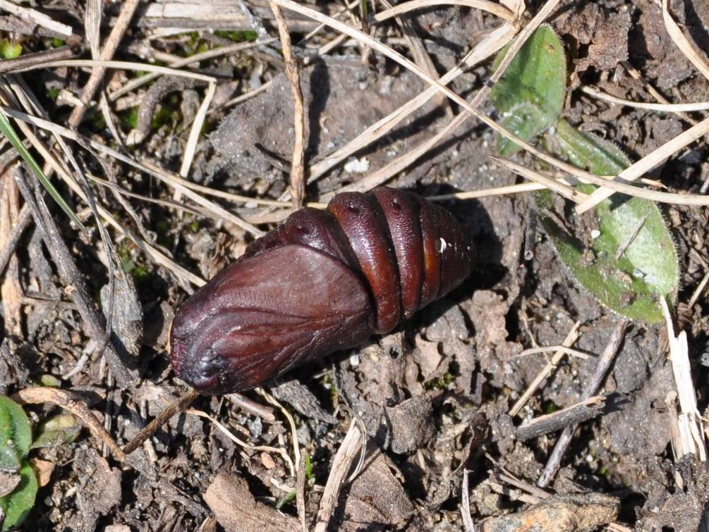 картинка: Insectum.jpg