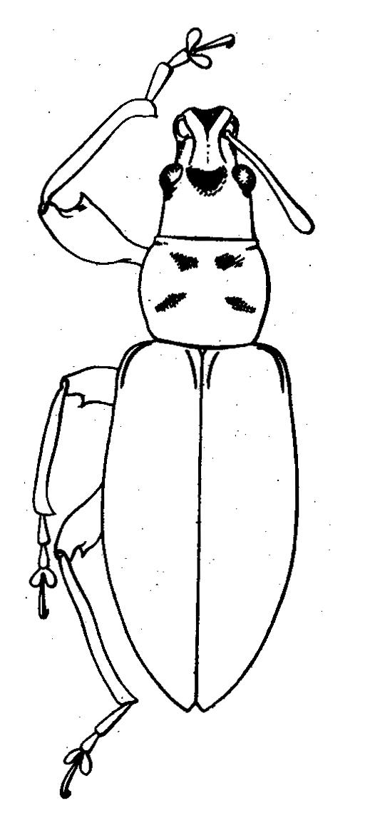 картинка: Phyllobius__Angarophyllobius__profanus_Faust__1881_________.jpg