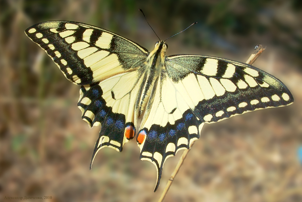 картинка: 23.08.2010___Papilio_machaon_____.__.____________________________33___.__.jpg