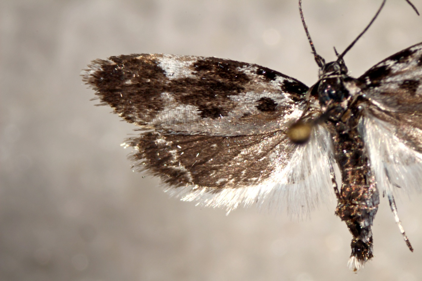 Attached ImageEthmia_quadrillella.JPG