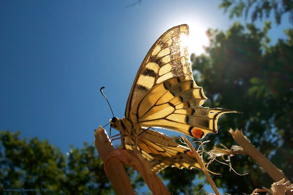 картинка: 23.08.2010___Papilio_machaon_____.__.____________________________33___.__..jpg