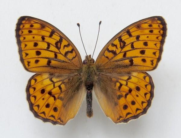 картинка: 1_Argynnis_niobe__Linnaeus__1758__________________________._15.07.1990._____________.jpg