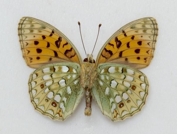 картинка: 1_Argynnis_niobe__Linnaeus__1758________________________________._15.07.1990._____________.jpg