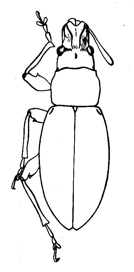 Attached ImagePhyllobius__Angarophyllobius__virens__Faust__1890_______.jpg