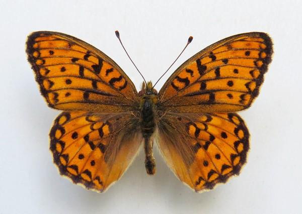 картинка: 2_Argynnis_niobe__Linnaeus__1758_____________.____.____._______________________._1.08.2003._leg._.______.jpg