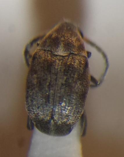 картинка: Bruchidius1.jpg