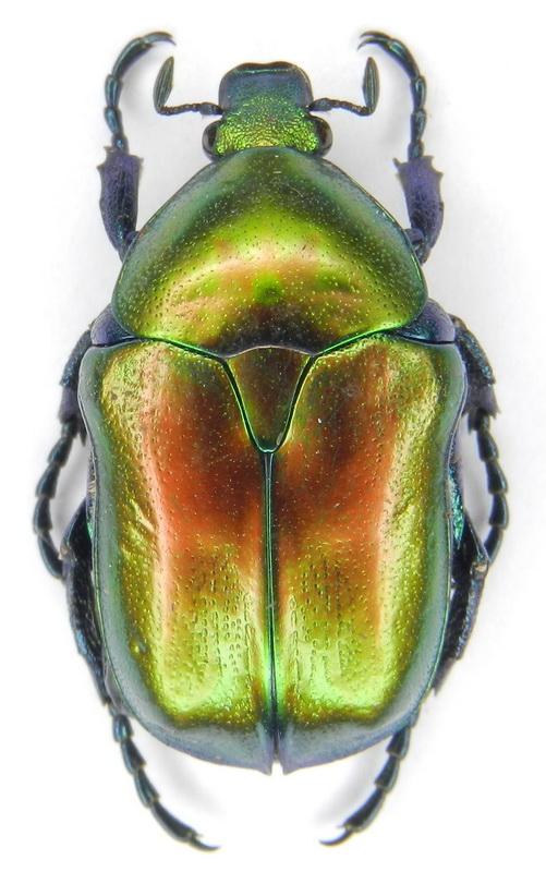 картинка: ssp.pseudospeciosa___26.VI.2004__S_Azerbaijan__Talysh__Veri_vil.__Aliabad___1600m__01_.jpg