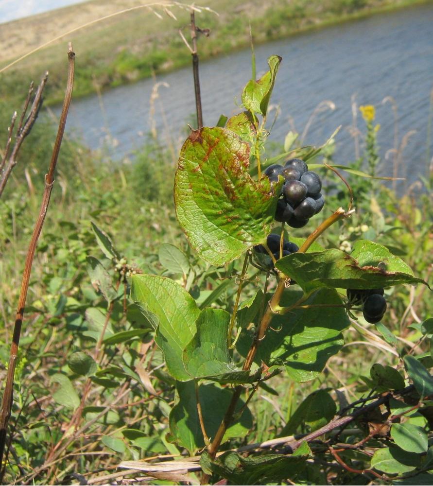 картинка: Smaller_Rhamnus_alnifolia.jpg