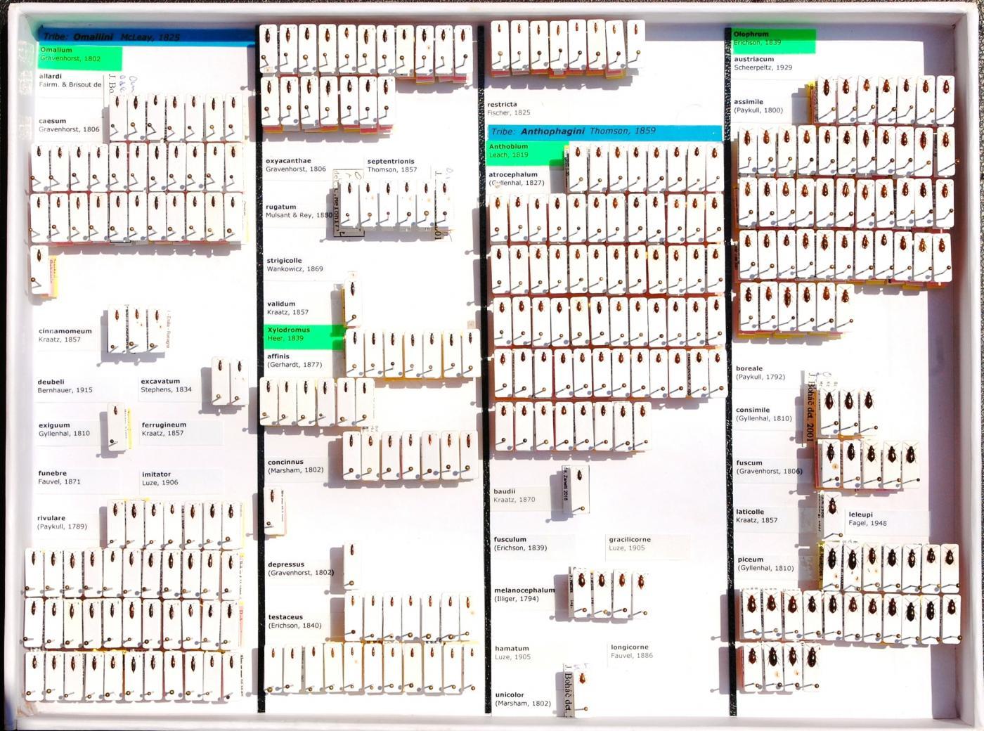 Staphylinidae_14.JPG - кликните, чтобы открыть увеличенную картинку
