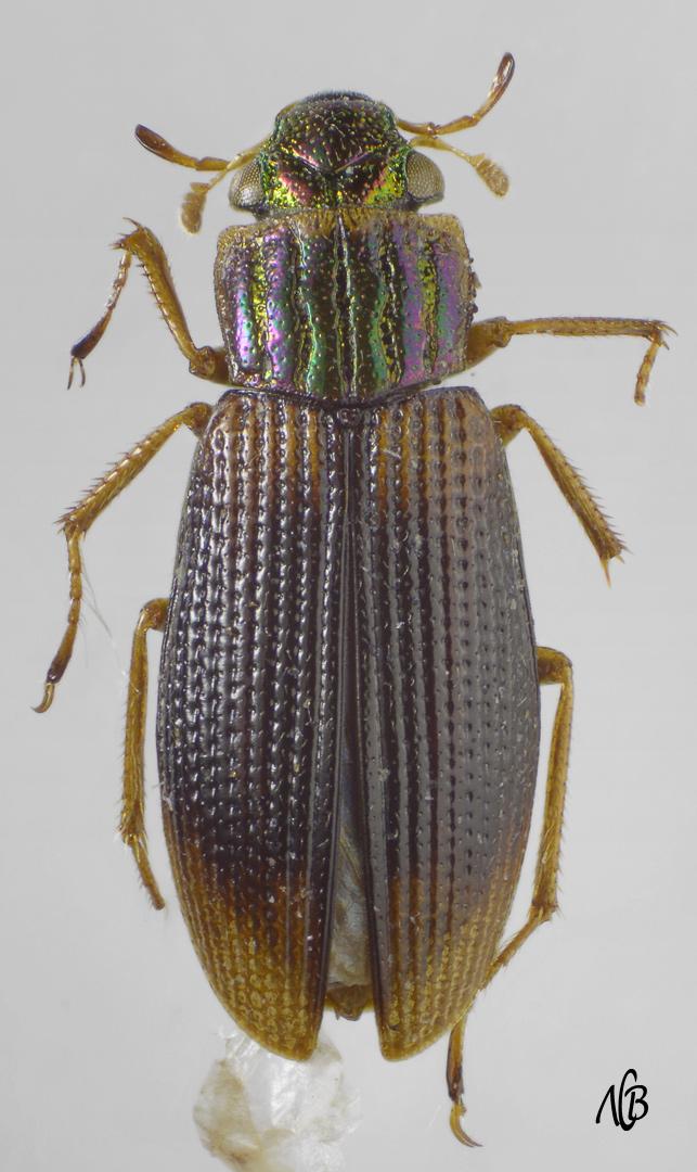картинка: Helophorus_salinus.jpg