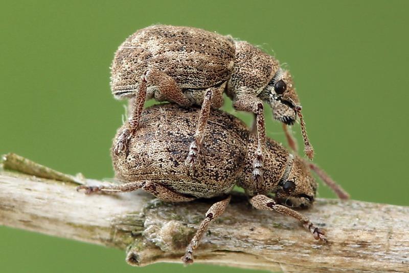 картинка: Strophosoma_capitatum.jpg