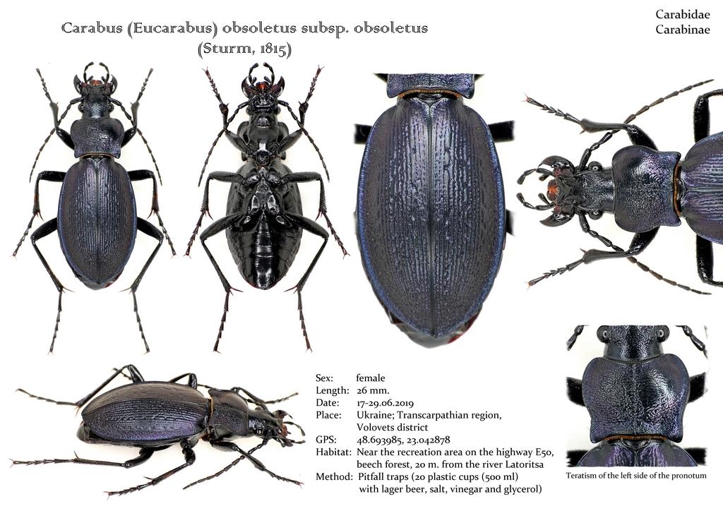 картинка: Carabus__Eucarabus__obsoletus_subsp._obsoletus.jpg