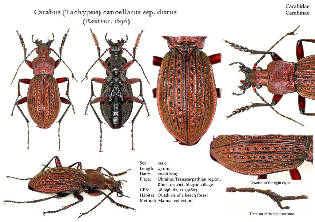 картинка: Carabus__Tachypus__cancellatus_ssp._durus.jpg