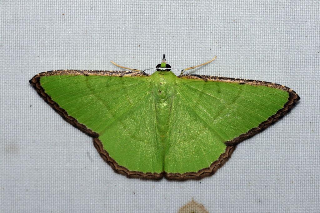 картинка: Ornithospila_succincta__Geometridae__Geometrinae_.jpg
