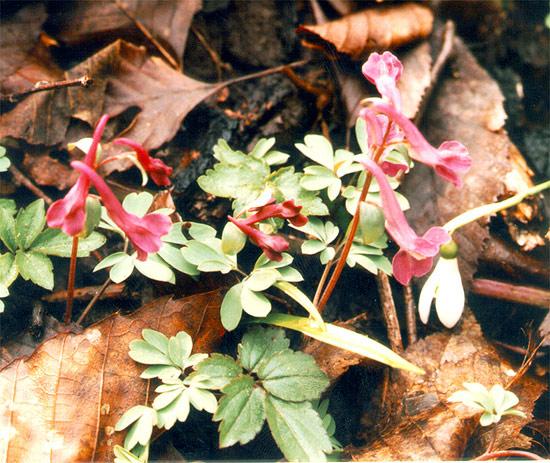 Corydalis Caucasica Черная Мамба