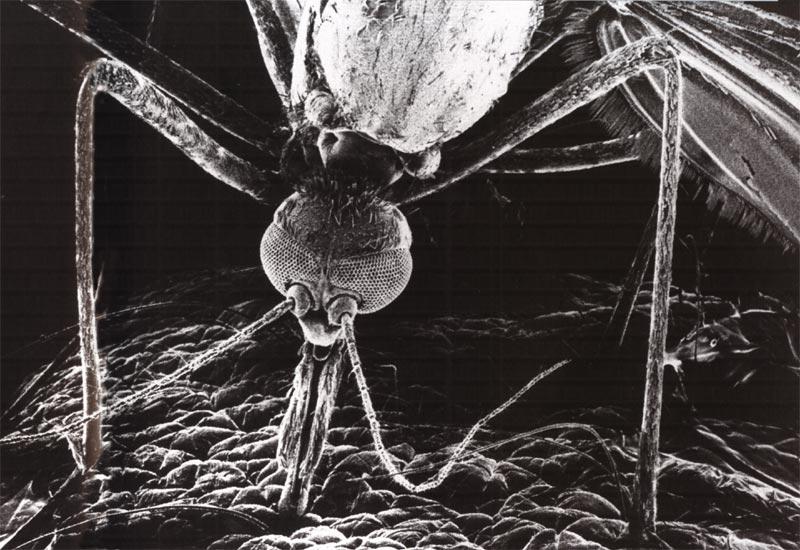 Главным источником питания самцов и самок комара служит нектар.